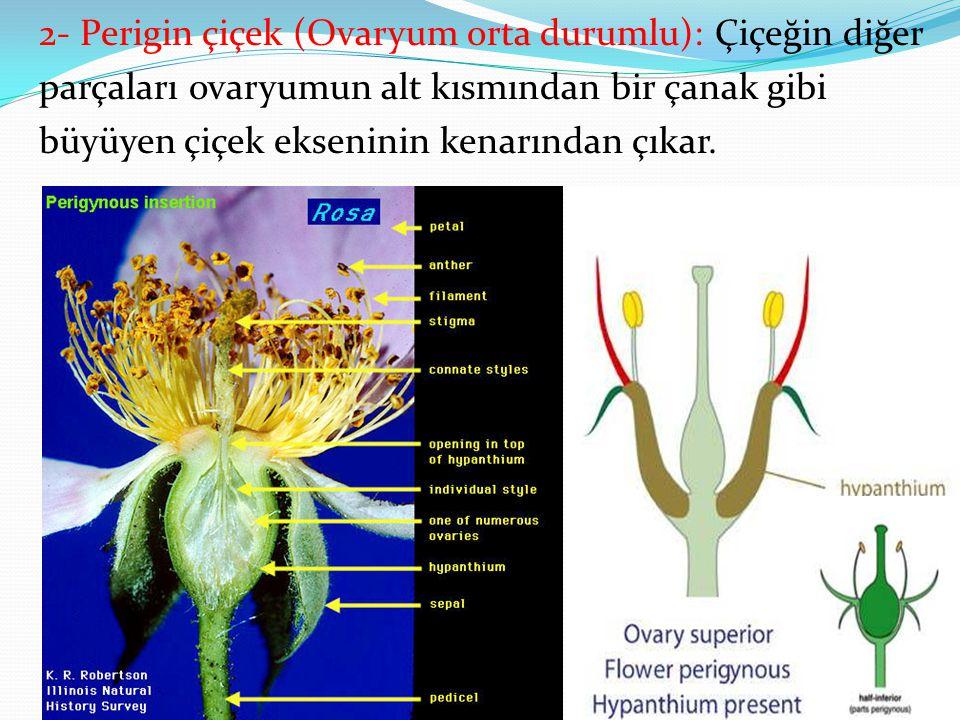 2- Perigin çiçek (Ovaryum orta durumlu): Çiçeğin diğer parçaları ovaryumun alt kısmından bir çanak gibi büyüyen çiçek ekseninin kenarından çıkar.