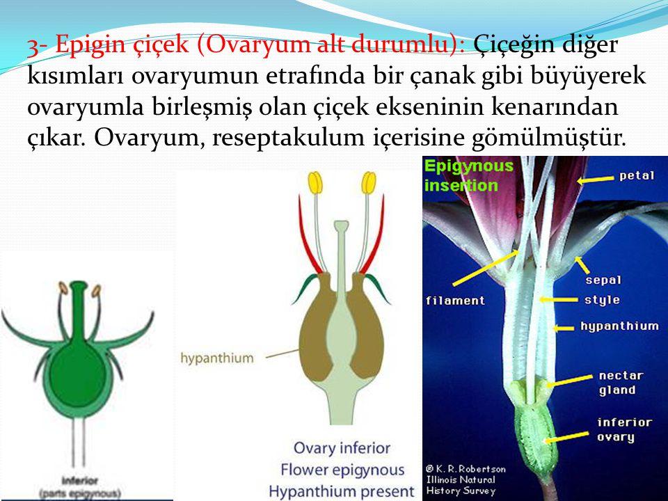 3- Epigin çiçek (Ovaryum alt durumlu): Çiçeğin diğer kısımları ovaryumun etrafında bir çanak gibi büyüyerek ovaryumla birleşmiş olan çiçek ekseninin k