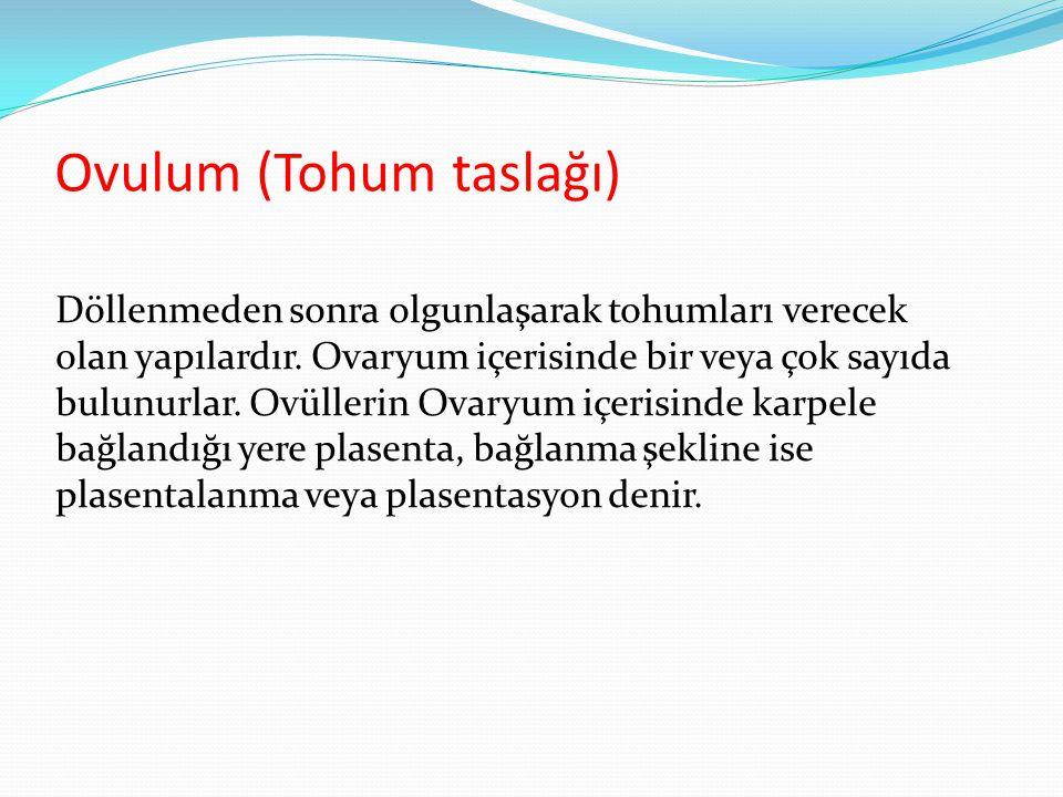 Ovulum (Tohum taslağı) Döllenmeden sonra olgunlaşarak tohumları verecek olan yapılardır. Ovaryum içerisinde bir veya çok sayıda bulunurlar. Ovüllerin