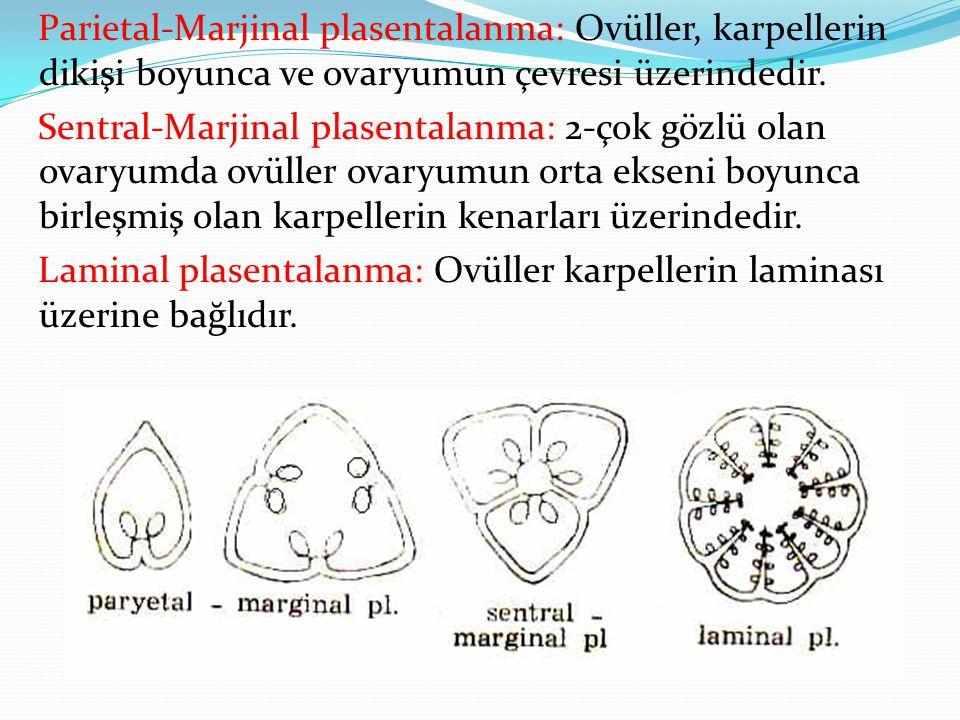 Parietal-Marjinal plasentalanma: Ovüller, karpellerin dikişi boyunca ve ovaryumun çevresi üzerindedir. Sentral-Marjinal plasentalanma: 2-çok gözlü ola