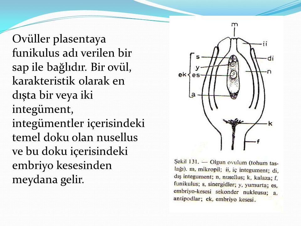Ovüller plasentaya funikulus adı verilen bir sap ile bağlıdır. Bir ovül, karakteristik olarak en dışta bir veya iki integüment, integümentler içerisin