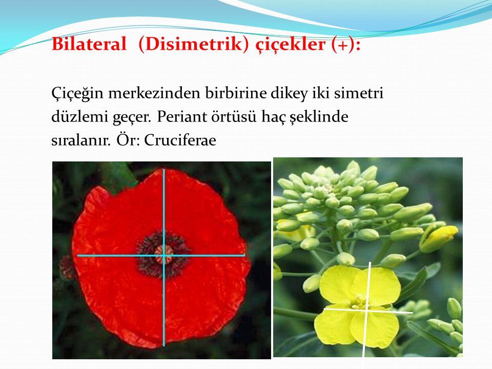 Bilateral (Disimetrik) çiçekler (+): Çiçeğin merkezinden birbirine dikey iki simetri düzlemi geçer. Periant örtüsü haç şeklinde sıralanır. Ör: Crucife