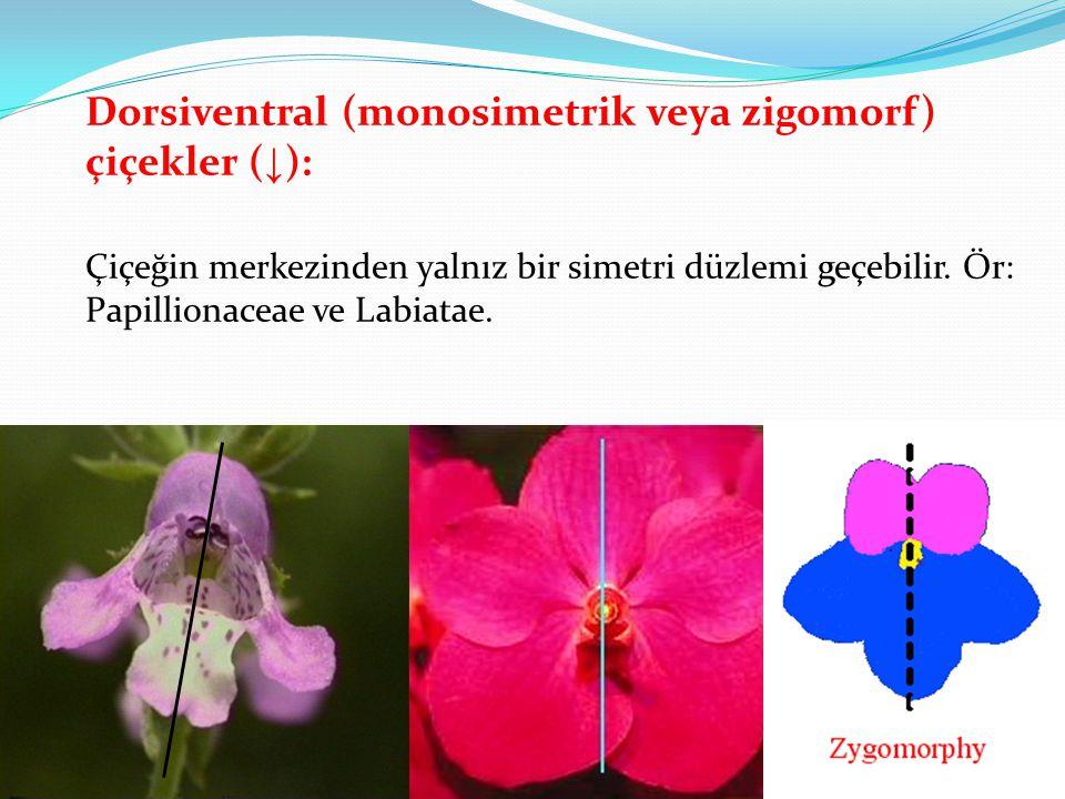 Dorsiventral (monosimetrik veya zigomorf) çiçekler ( ↓ ): Çiçeğin merkezinden yalnız bir simetri düzlemi geçebilir. Ör: Papillionaceae ve Labiatae.