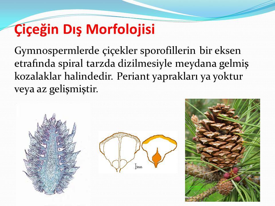 Çiçeğin Dış Morfolojisi Gymnospermlerde çiçekler sporofillerin bir eksen etrafında spiral tarzda dizilmesiyle meydana gelmiş kozalaklar halindedir. Pe