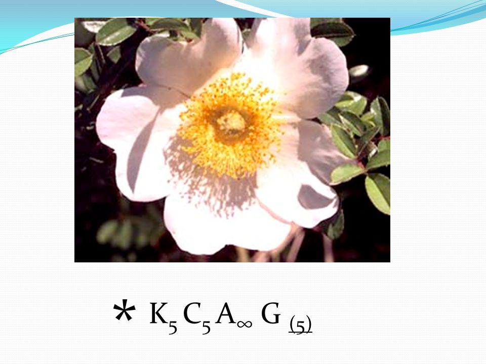 K 5 C 5 A ∞ G (5) *