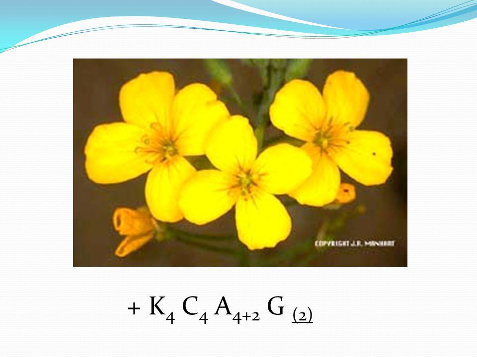 + K 4 C 4 A 4+2 G (2)