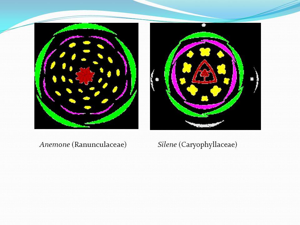 Anemone (Ranunculaceae) Silene (Caryophyllaceae)