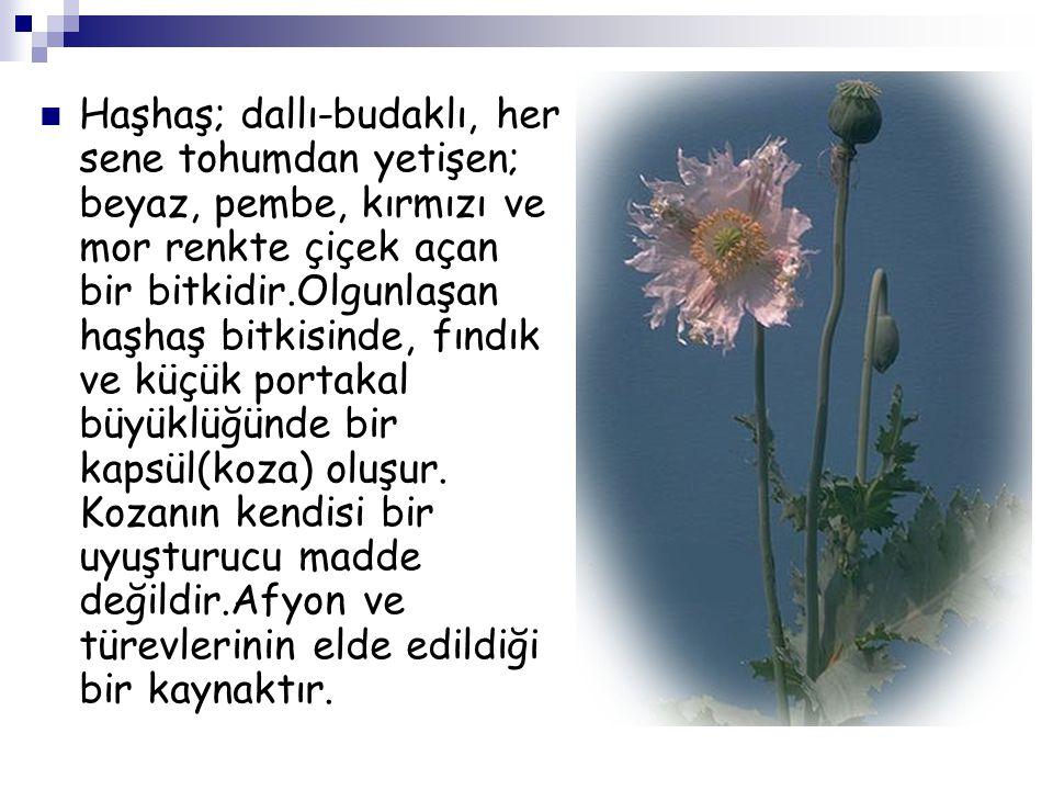 Haşhaş; dallı-budaklı, her sene tohumdan yetişen; beyaz, pembe, kırmızı ve mor renkte çiçek açan bir bitkidir.Olgunlaşan haşhaş bitkisinde, fındık ve