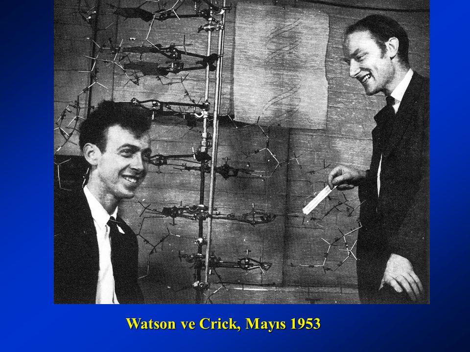 Watson ve Crick, Mayıs 1953 Watson ve Crick, Mayıs 1953