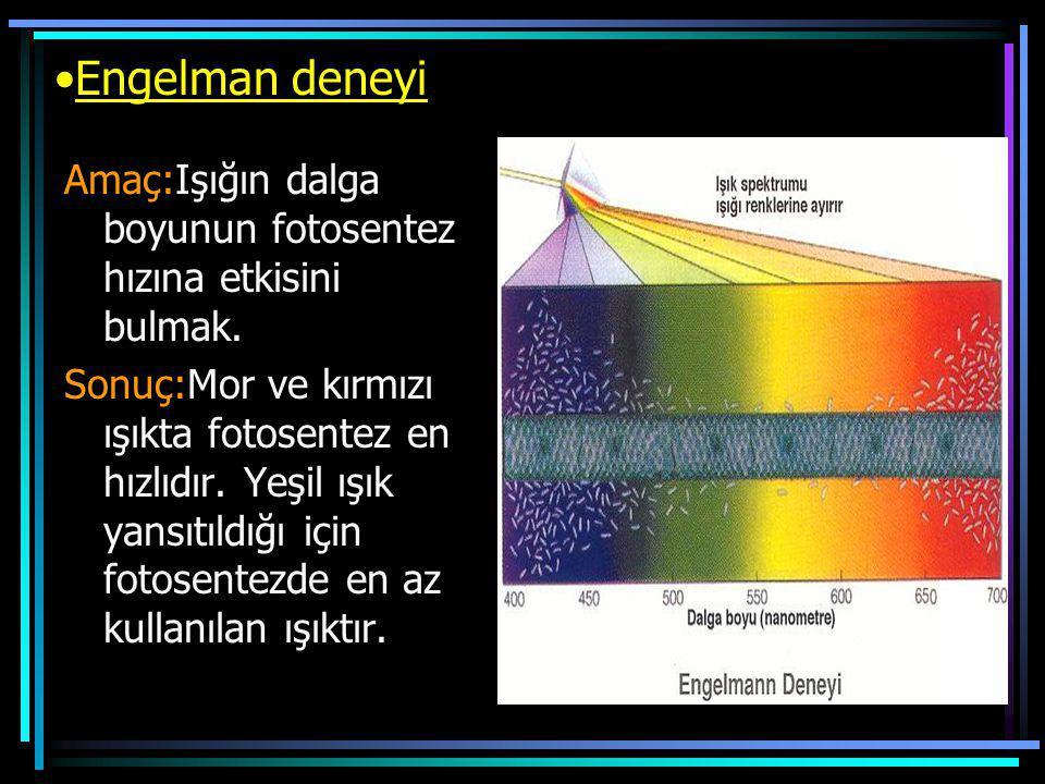 Engelman deneyi Amaç:Işığın dalga boyunun fotosentez hızına etkisini bulmak. Sonuç:Mor ve kırmızı ışıkta fotosentez en hızlıdır. Yeşil ışık yansıtıldı
