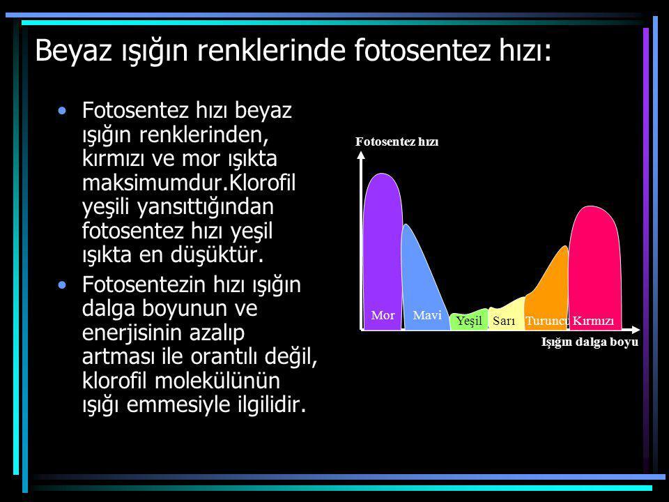 Beyaz ışığın renklerinde fotosentez hızı: Fotosentez hızı beyaz ışığın renklerinden, kırmızı ve mor ışıkta maksimumdur.Klorofil yeşili yansıttığından