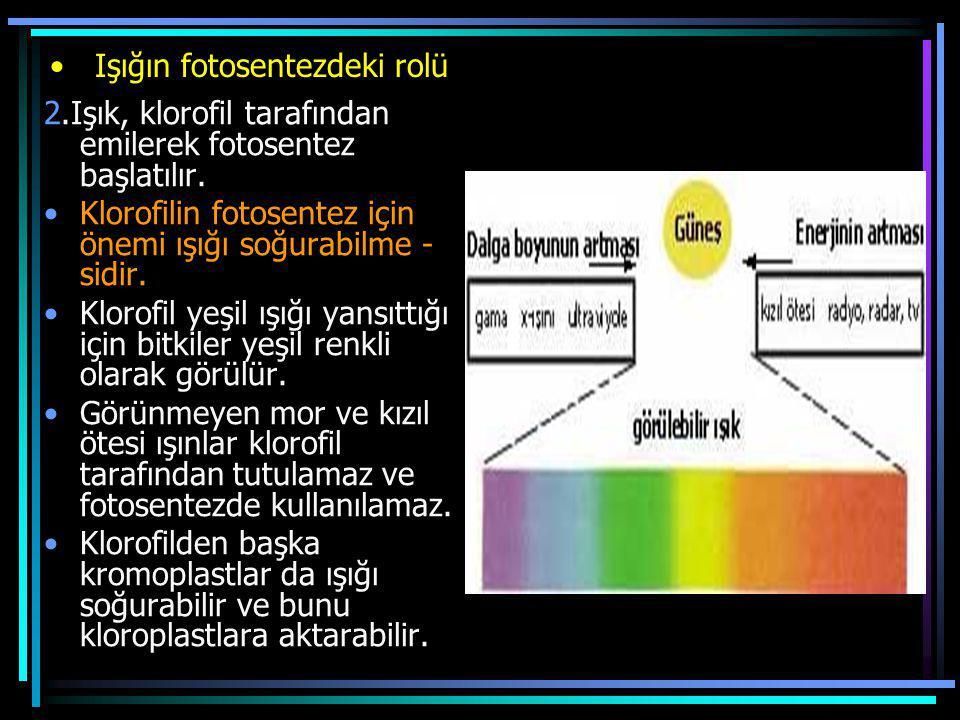 Işığın fotosentezdeki rolü 2.Işık, klorofil tarafından emilerek fotosentez başlatılır. Klorofilin fotosentez için önemi ışığı soğurabilme - sidir. Klo