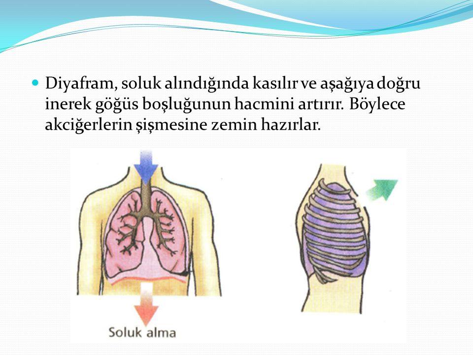 Diyafram, soluk alındığında kasılır ve aşağıya doğru inerek göğüs boşluğunun hacmini artırır. Böylece akciğerlerin şişmesine zemin hazırlar.