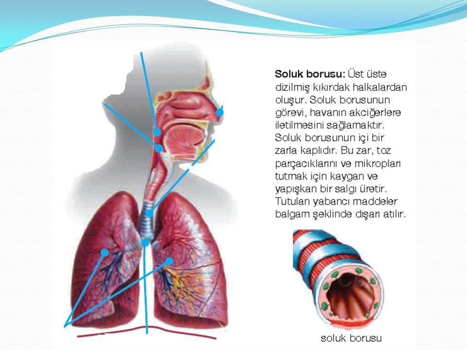 Akciğerler: Süngerimsi yapıda olan akciğerler biri sağda, diğeri solda olmak üzere iki tanedir.