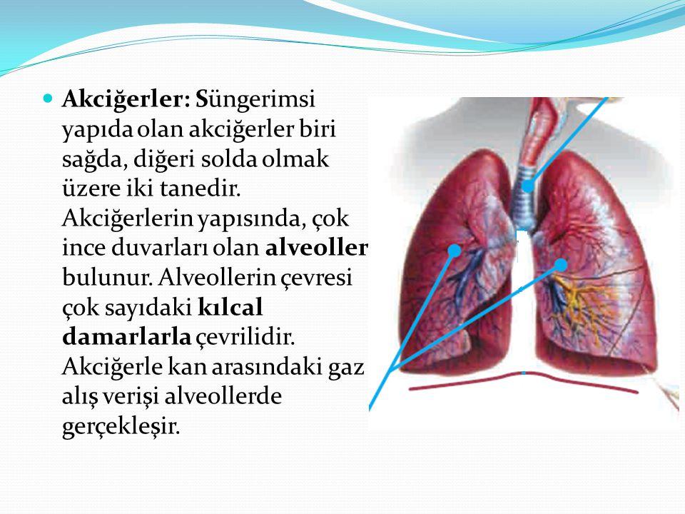 Akciğerler: Süngerimsi yapıda olan akciğerler biri sağda, diğeri solda olmak üzere iki tanedir. Akciğerlerin yapısında, çok ince duvarları olan alveol