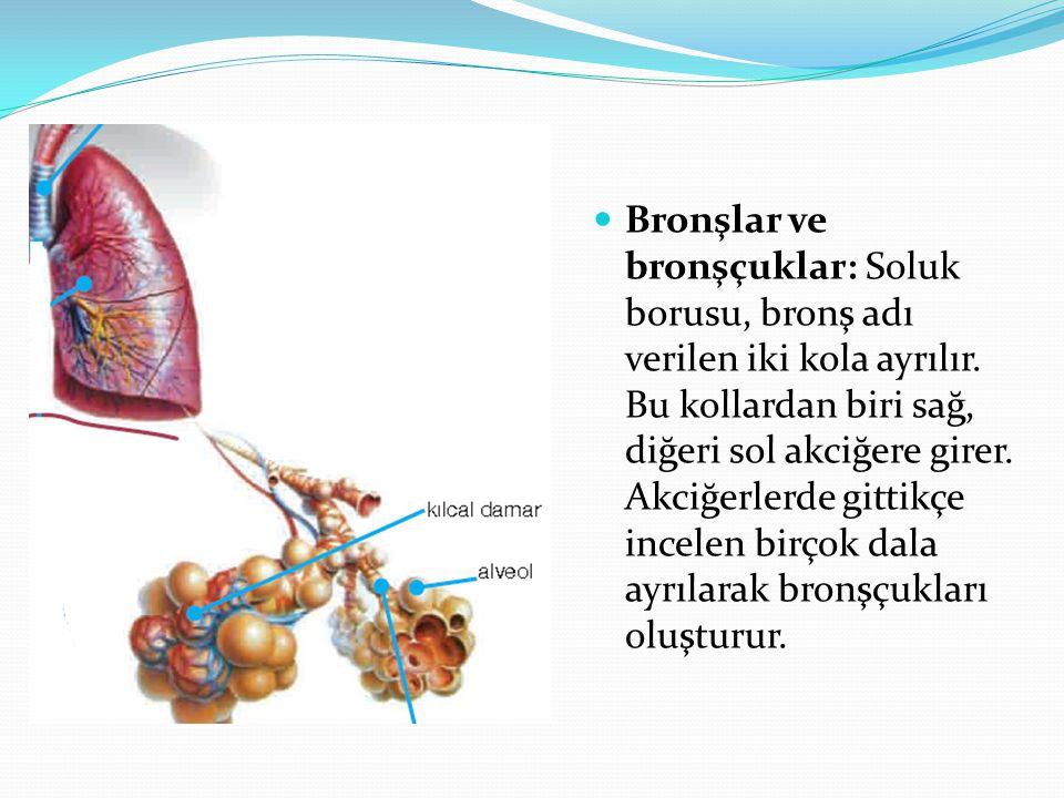 Bronşlar ve bronşçuklar: Soluk borusu, bronş adı verilen iki kola ayrılır. Bu kollardan biri sağ, diğeri sol akciğere girer. Akciğerlerde gittikçe inc