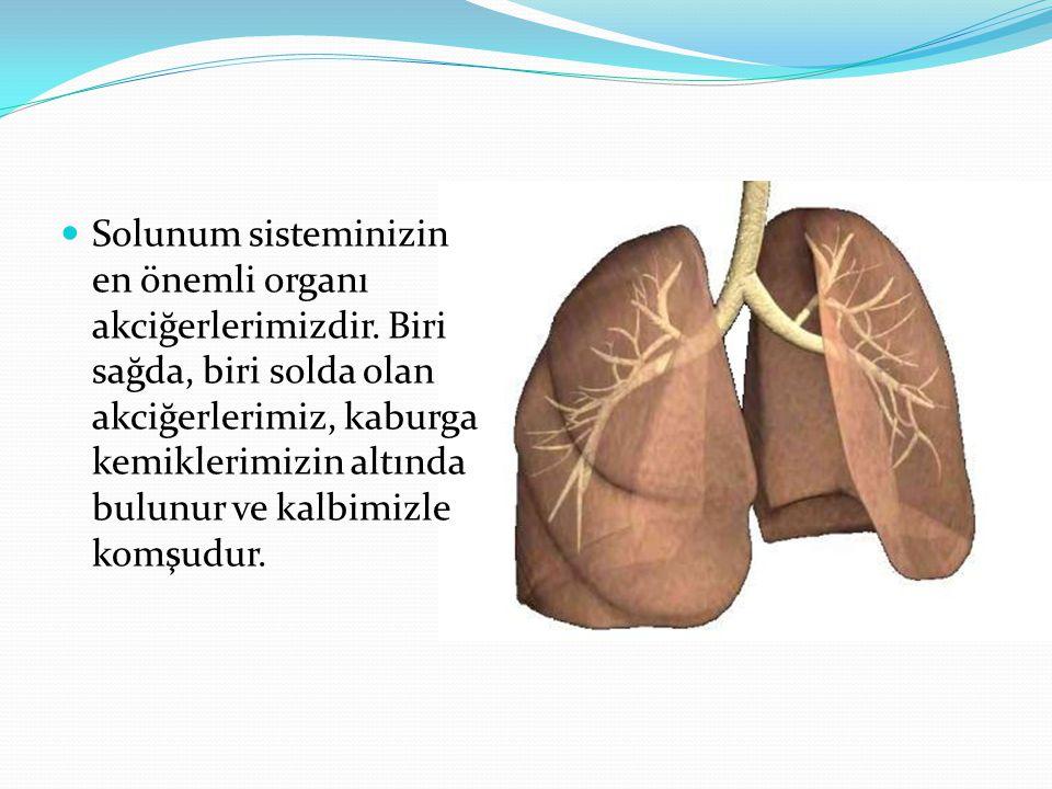 Solunum sisteminizin en önemli organı akciğerlerimizdir. Biri sağda, biri solda olan akciğerlerimiz, kaburga kemiklerimizin altında bulunur ve kalbimi