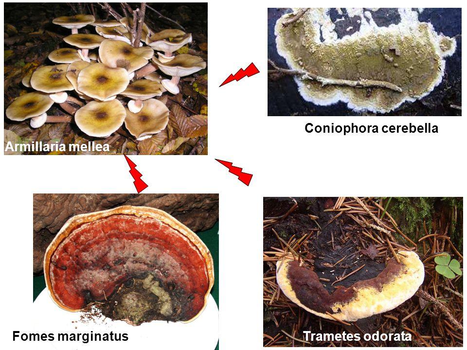 Armillaria mellea Coniophora cerebella Trametes odorataFomes marginatus