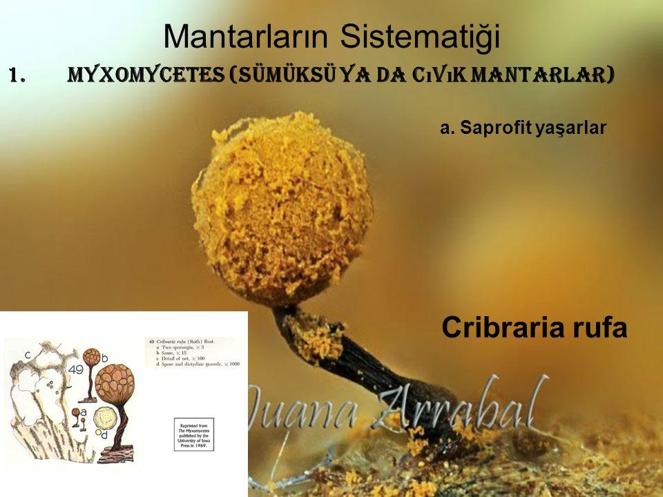 Mantarların Sistematiği 1.MYXOMYCETES (Sümüksü ya da C ı v ı k mantarlar) Cribraria rufa a. Saprofit yaşarlar