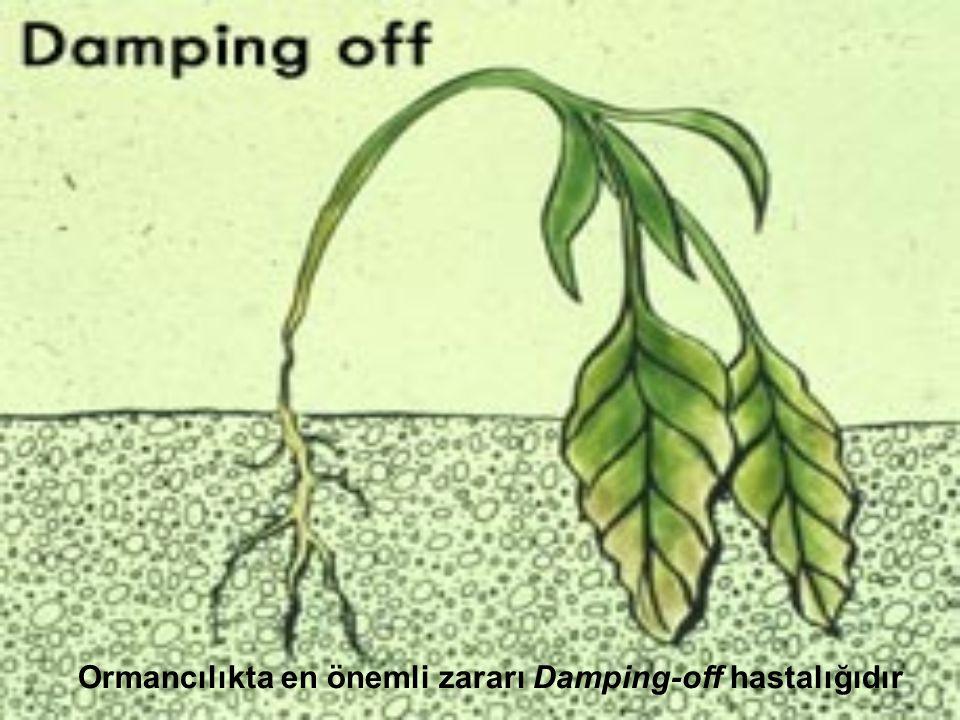 Ormancılıkta en önemli zararı Damping-off hastalığıdır