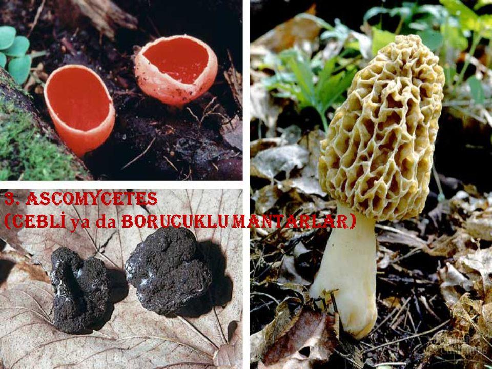 3. ascomycetes (cebl İ ya da borucuklu mantarlar)