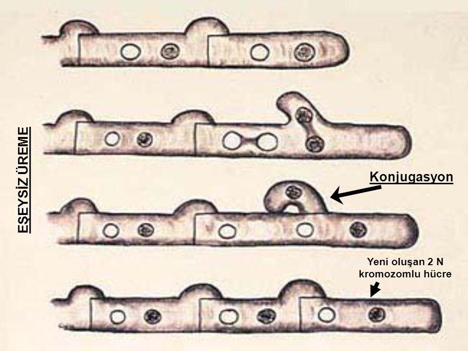 EŞEYSİZ ÜREME Konjugasyon Yeni oluşan 2 N kromozomlu hücre