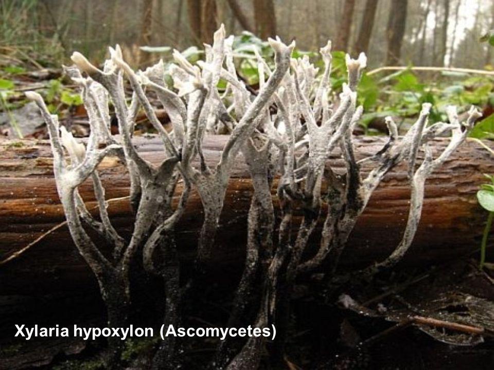 Xylaria hypoxylon (Ascomycetes)