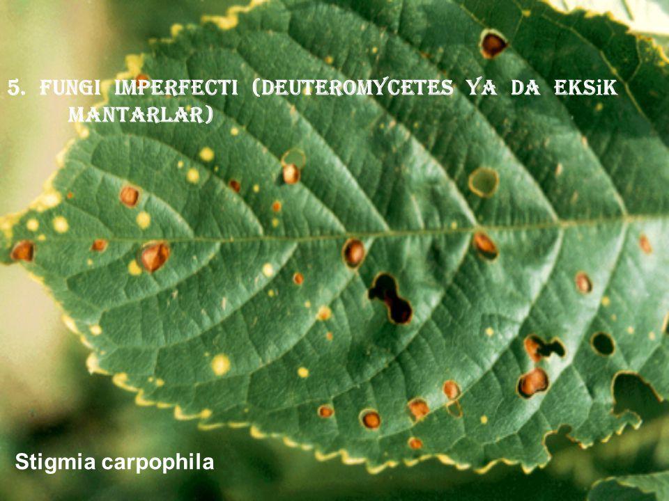 5. Fungi imperfecti (deuteromycetes ya da eks i k mantarlar) Stigmia carpophila