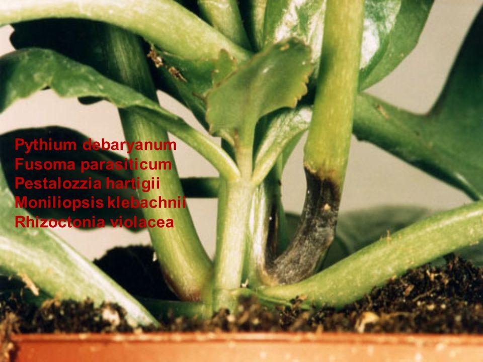 Pythium debaryanum Fusoma parasiticum Pestalozzia hartigii Moniliopsis klebachnii Rhizoctonia violacea