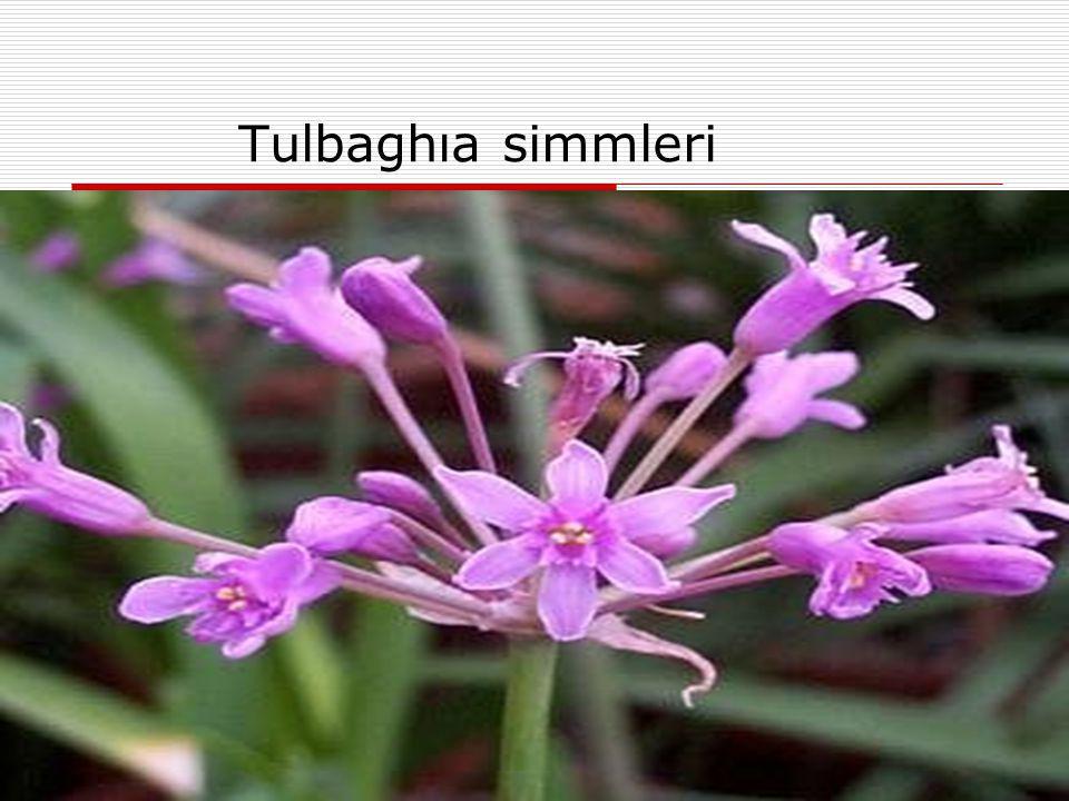 Tulbaghıa simmleri
