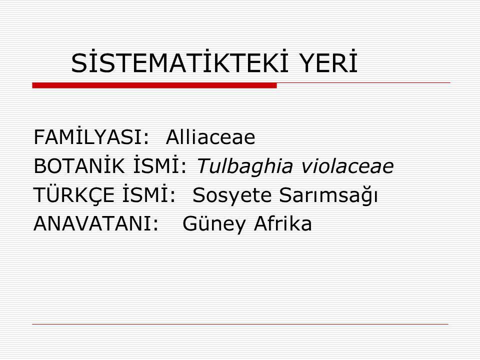 SİSTEMATİKTEKİ YERİ FAMİLYASI: Alliaceae BOTANİK İSMİ: Tulbaghia violaceae TÜRKÇE İSMİ: Sosyete Sarımsağı ANAVATANI: Güney Afrika