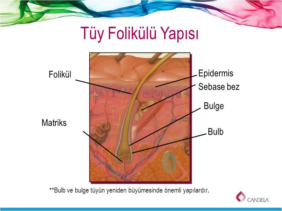 Tüy Folikülü Yapısı Epidermis Sebase bez Bulb **Bulb ve bulge tüyün yeniden büyümesinde önemli yapılardır. Folikül Bulge Matriks