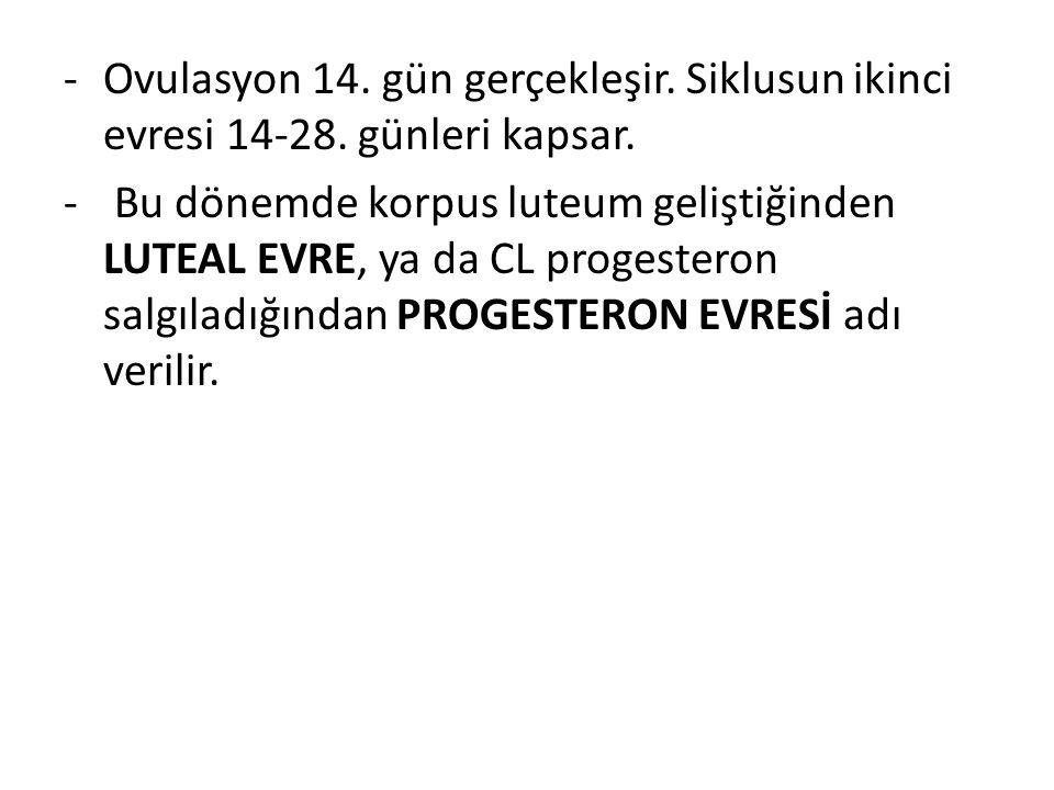 -Ovulasyon 14. gün gerçekleşir. Siklusun ikinci evresi 14-28. günleri kapsar. - Bu dönemde korpus luteum geliştiğinden LUTEAL EVRE, ya da CL progester