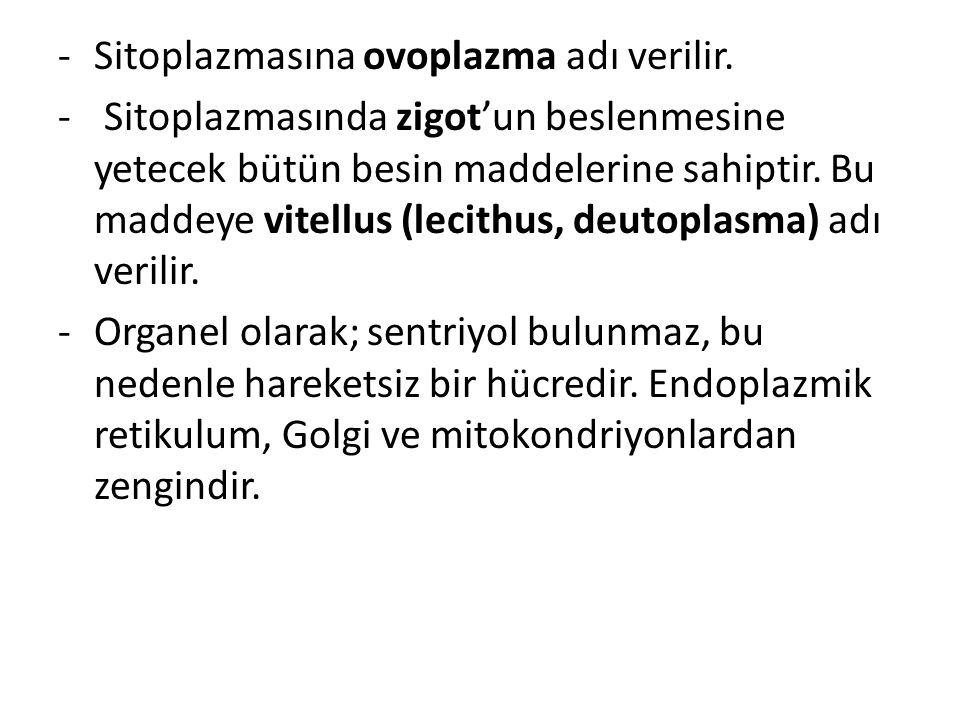-Sitoplazmasına ovoplazma adı verilir. - Sitoplazmasında zigot'un beslenmesine yetecek bütün besin maddelerine sahiptir. Bu maddeye vitellus (lecithus