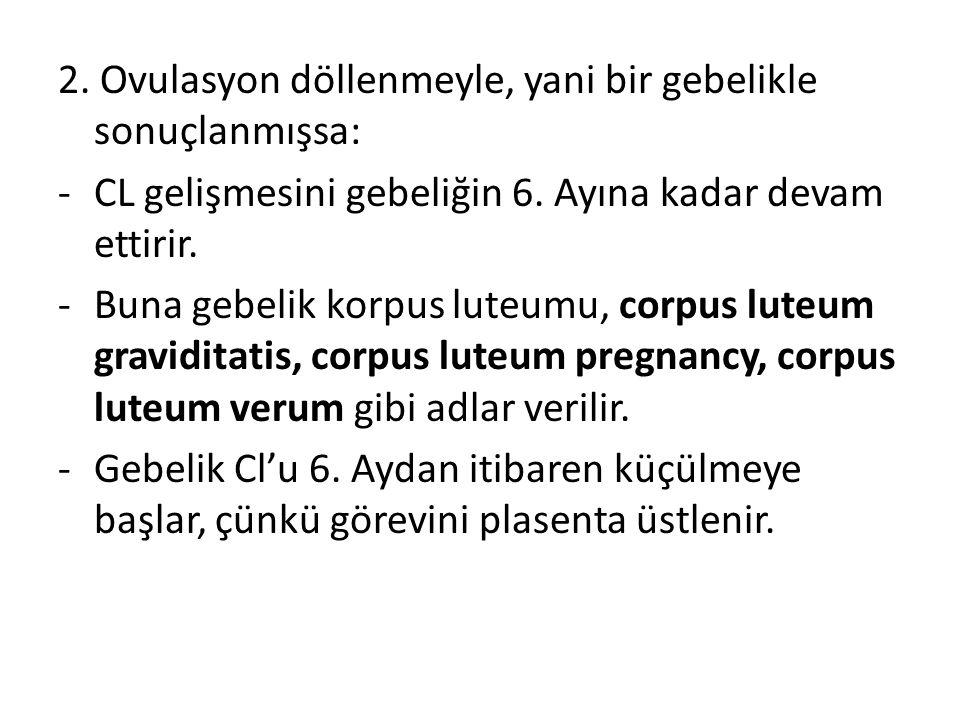 2. Ovulasyon döllenmeyle, yani bir gebelikle sonuçlanmışsa: -CL gelişmesini gebeliğin 6. Ayına kadar devam ettirir. -Buna gebelik korpus luteumu, corp