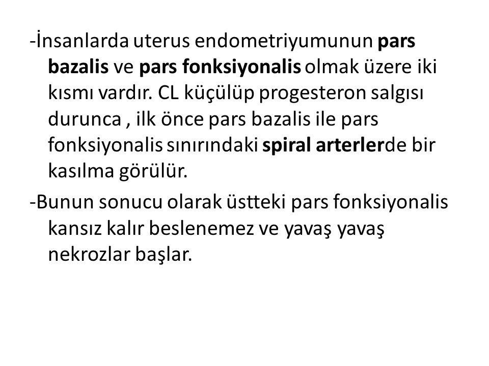-İnsanlarda uterus endometriyumunun pars bazalis ve pars fonksiyonalis olmak üzere iki kısmı vardır. CL küçülüp progesteron salgısı durunca, ilk önce