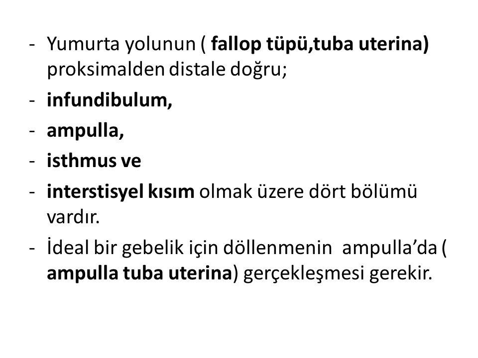 -Yumurta yolunun ( fallop tüpü,tuba uterina) proksimalden distale doğru; -infundibulum, -ampulla, -isthmus ve -interstisyel kısım olmak üzere dört böl