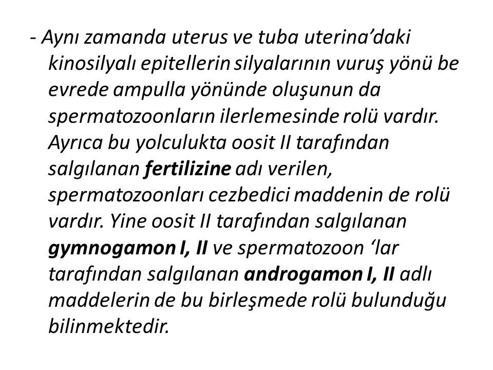 - Aynı zamanda uterus ve tuba uterina'daki kinosilyalı epitellerin silyalarının vuruş yönü be evrede ampulla yönünde oluşunun da spermatozoonların ile