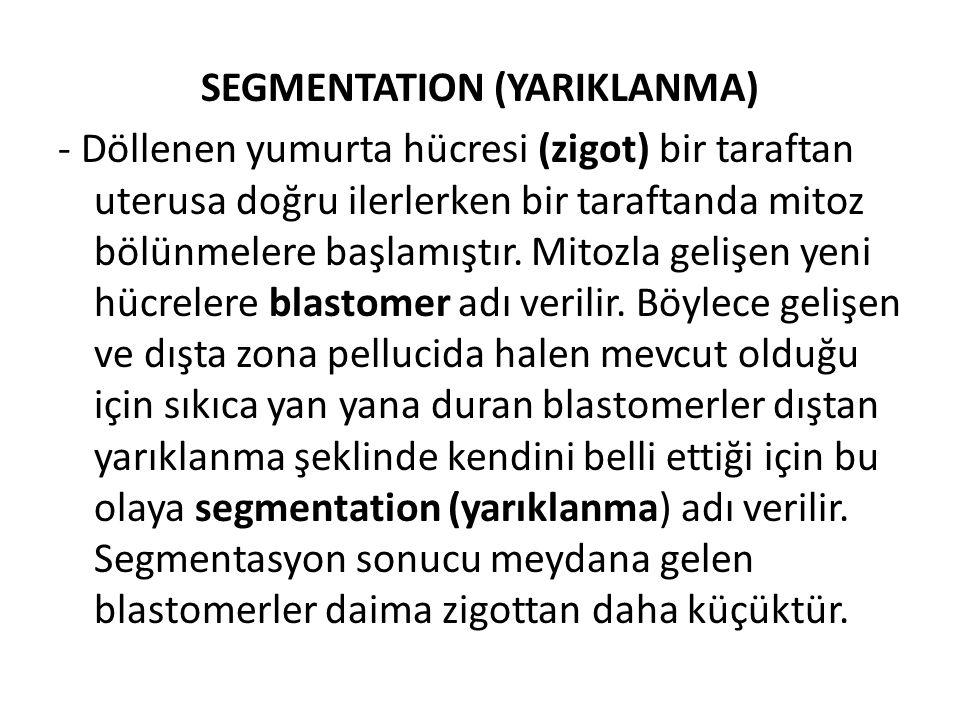 SEGMENTATION (YARIKLANMA) - Döllenen yumurta hücresi (zigot) bir taraftan uterusa doğru ilerlerken bir taraftanda mitoz bölünmelere başlamıştır. Mitoz