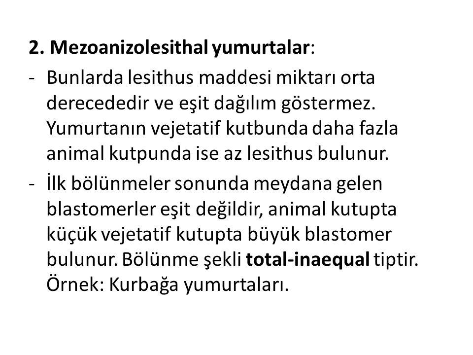 2. Mezoanizolesithal yumurtalar: -Bunlarda lesithus maddesi miktarı orta derecededir ve eşit dağılım göstermez. Yumurtanın vejetatif kutbunda daha faz