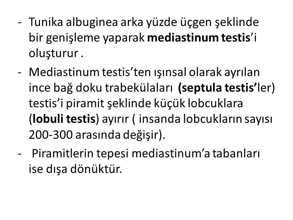 -Tunika albuginea arka yüzde üçgen şeklinde bir genişleme yaparak mediastinum testis'i oluşturur. -Mediastinum testis'ten ışınsal olarak ayrılan ince