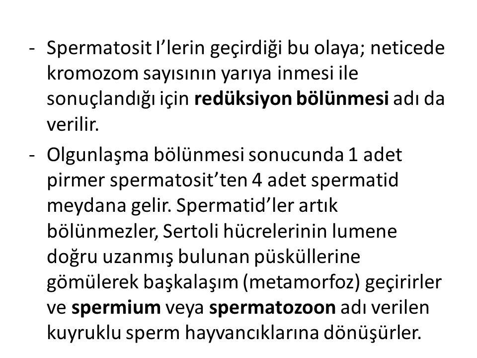 -Spermatosit I'lerin geçirdiği bu olaya; neticede kromozom sayısının yarıya inmesi ile sonuçlandığı için redüksiyon bölünmesi adı da verilir. -Olgunla