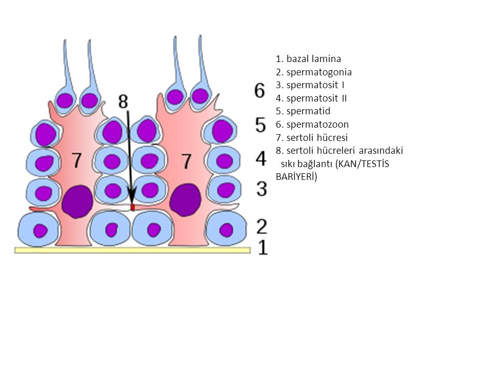 1. bazal lamina 2. spermatogonia 3. spermatosit I 4. spermatosit II 5. spermatid 6. spermatozoon 7. sertoli hücresi 8. sertoli hücreleri arasındaki sı