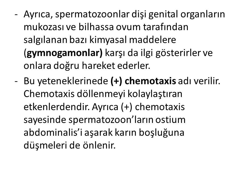 -Ayrıca, spermatozoonlar dişi genital organların mukozası ve bilhassa ovum tarafından salgılanan bazı kimyasal maddelere (gymnogamonlar) karşı da ilgi