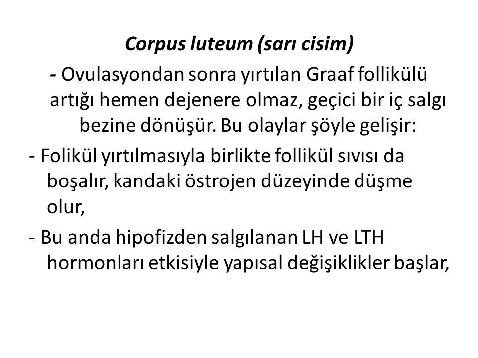 Corpus luteum (sarı cisim) - Ovulasyondan sonra yırtılan Graaf follikülü artığı hemen dejenere olmaz, geçici bir iç salgı bezine dönüşür. Bu olaylar ş