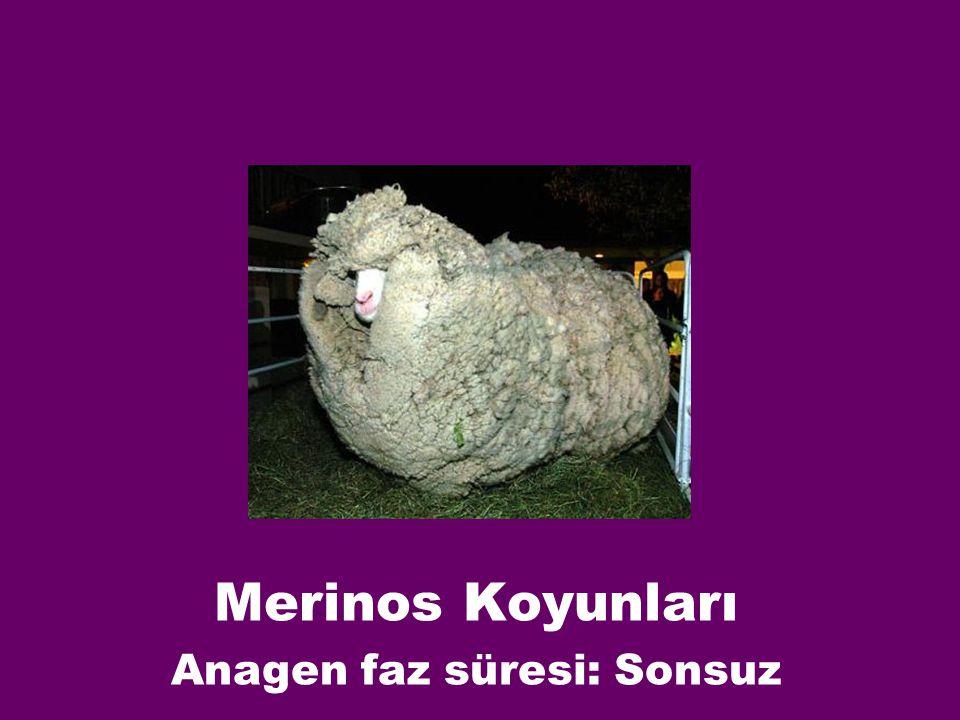 Merinos Koyunları Anagen faz süresi: Sonsuz