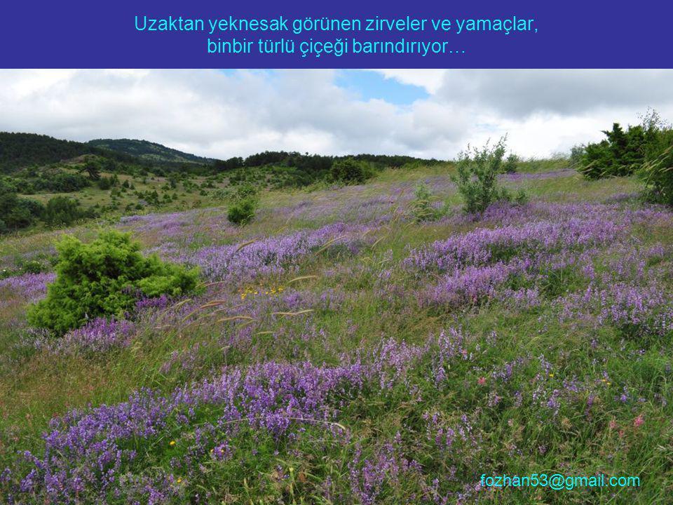 Uzaktan yeknesak görünen zirveler ve yamaçlar, binbir türlü çiçeği barındırıyor… fozhan53@gmail.com