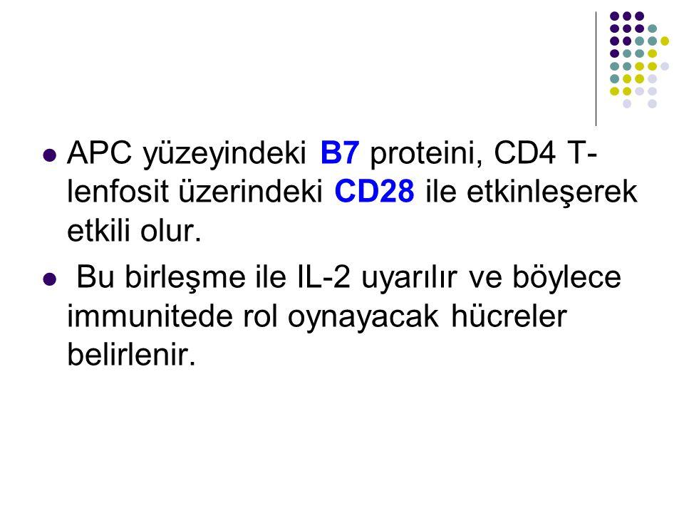 APC yüzeyindeki B7 proteini, CD4 T- lenfosit üzerindeki CD28 ile etkinleşerek etkili olur. Bu birleşme ile IL-2 uyarılır ve böylece immunitede rol oyn