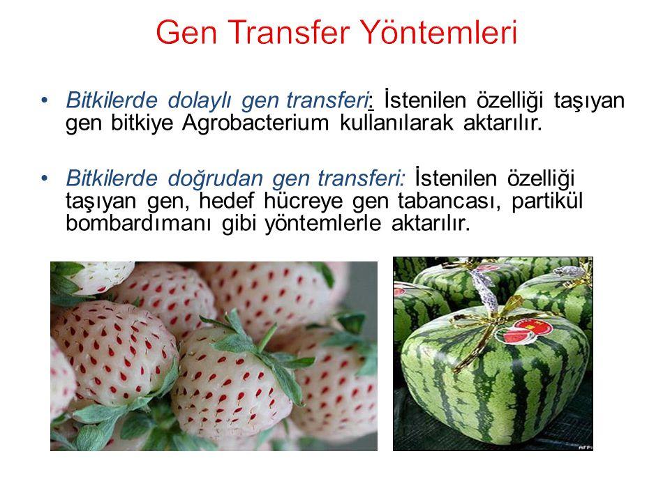 Bitkilerde dolaylı gen transferi: İstenilen özelliği taşıyan gen bitkiye Agrobacterium kullanılarak aktarılır.