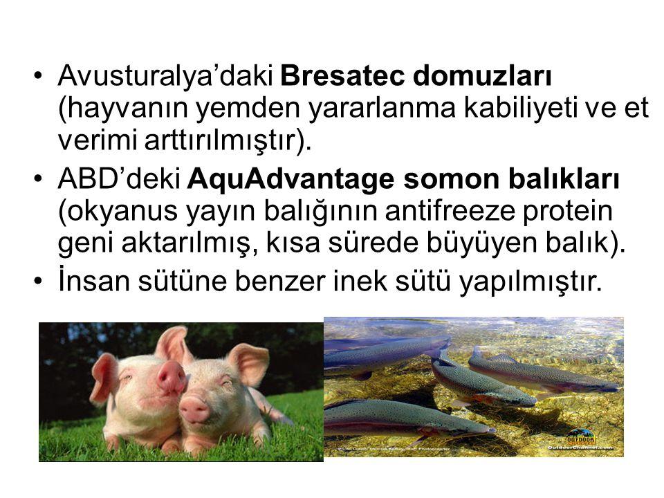Avusturalya'daki Bresatec domuzları (hayvanın yemden yararlanma kabiliyeti ve et verimi arttırılmıştır).